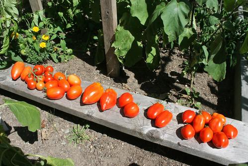 tomatoes plum IMG_3660b