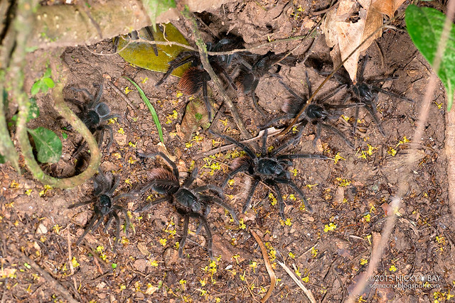 Tarantula (Pamphobeteus sp.) - DSC_3699
