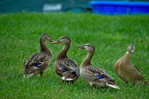 Four little ducklings looking about