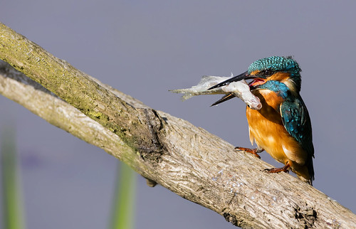 Kingfisher with big fish