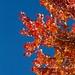 Maple Sky by cogdogblog