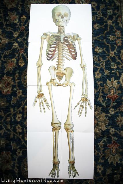Life-Size Skeleton Puzzle