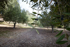 Focusing on two olive branches