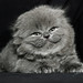 kitten by ElenAndreeva