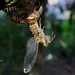 Cicada Emerging by kuper5