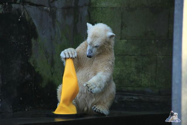 Eisbär Fiete im Zoo Rostock 13.12.2015  144