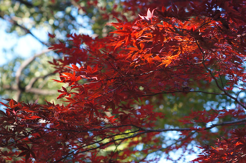 Momiji Red