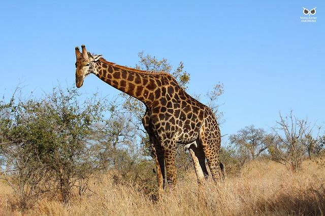 Girafa, giraffe (Giraffa)