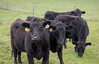 Angus cattle at Stemple Creek Ranch
