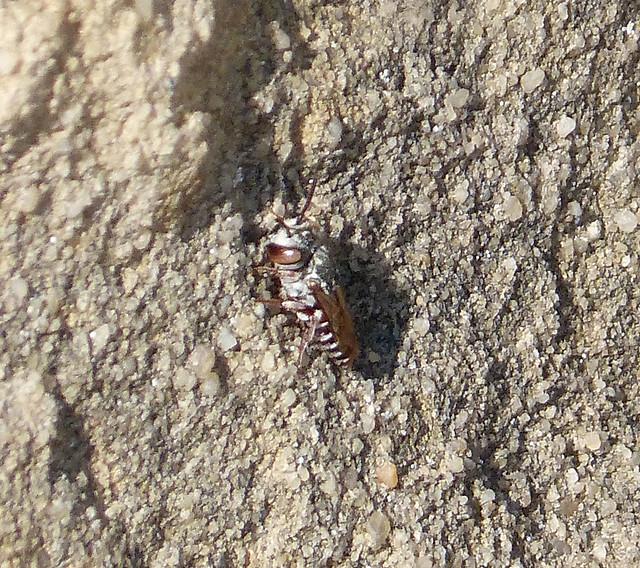 Coelioxys species (C. coturnix female ?)