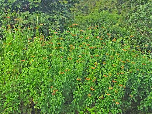 170228 2017 asterids candlestick christmascandlestick ecuador lamiaceae lamiales leonotis leonotisnepetifolia vilcabamba flower klipdagga lionsear wildflower