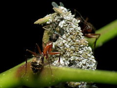Ants Tending Woolly Aphids