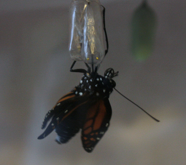 front legs moved to the top of the empty chrysalis