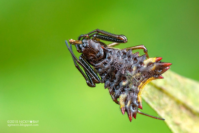 Thorn orb weaver (Micrathena cf. triangularis) - DSC_0957