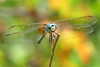 a late summer Dasher by Vicki's Nature