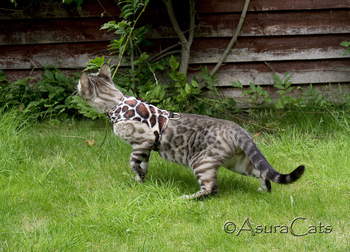 MerryBoo Sahara of AsuraCats - Charcoal Seal Mink rosetted Bengal