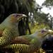 Satin Bower birds by Lesley A Butler