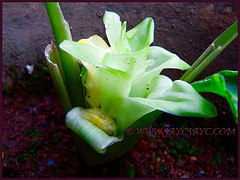 An inflorescence of Curcuma longa (Turmeric, Common Turmeric, Indian Saffron, Curcuma), Oct 30 2013