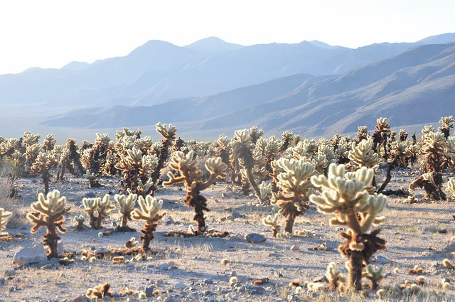 Cholla Gardens at Joshua Tree National Park