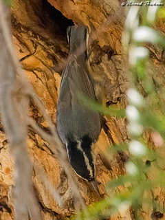Red-breasted Nuthatch (UCR #173)