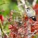 Anna's Hummingbird by VancouverBirder