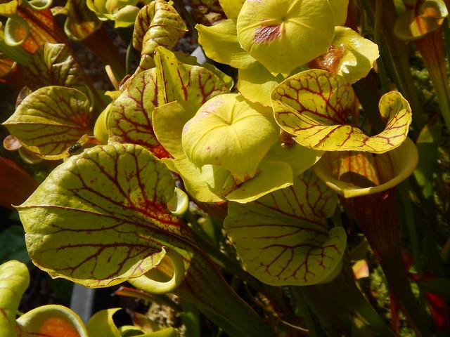 Sarracenia flava var. rubricorpora, Helmut's veined lid