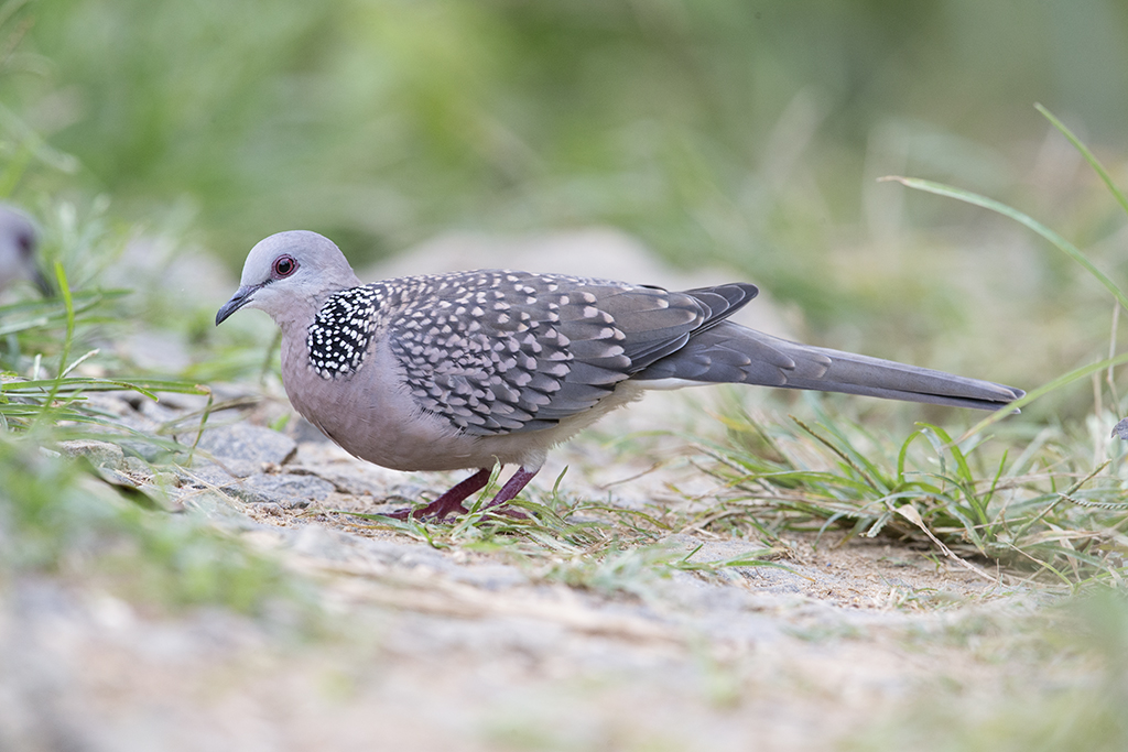 Spotted Dove   Sri Lanka