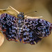 Bent-skipper or Bentwing - Cycloglypha sp. (Hesperiidae, Pyrginae, Erynnini) 108g-3810 by CAPE images