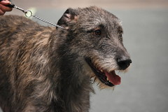 An Irish Wolfhound Is Perfection This Time Of The Year March 14, 2017