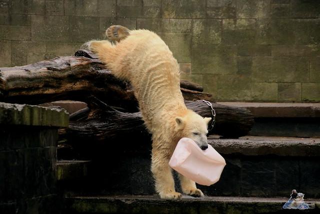 Eisbär Fiete im Zoo Rostock 17.10.2015  0236