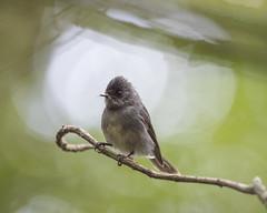 African Whitetailed Flycatcher, Trochocercus albonotatus, Seldom Seen, Bvumba, Mutare, Zimbabwe