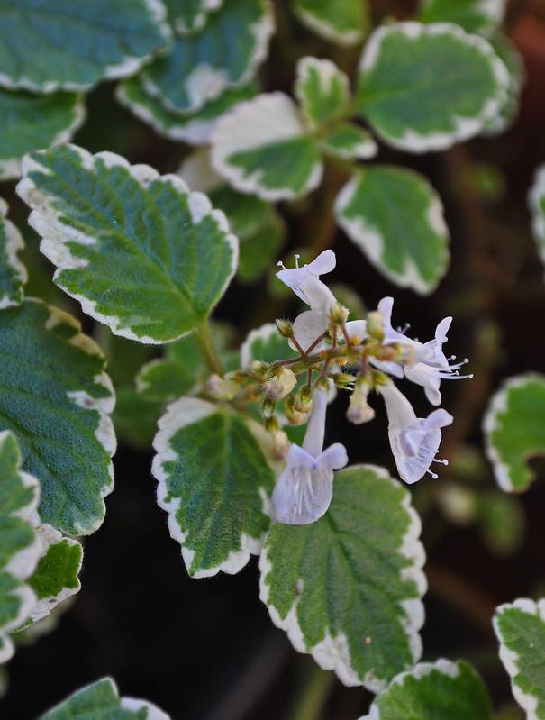 Plectranthus amboinicus 'Variegatus'