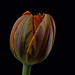 Tulip by Funchye