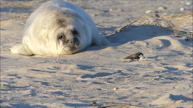 Baby seal, one from 352 this season ❤