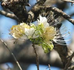 Crateva adansonii subsp. odora