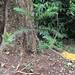 Araucaria angustifolia bem jovem