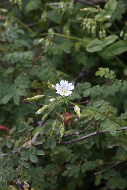 Cerastium davuricum (Caryophyllaceae)