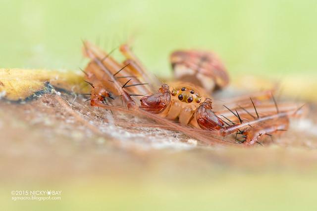 Orb weaver spider (Verrucosa sp.) - DSC_3750