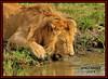 KING OF THE JUNGLE QUENCHING HIS THIRST(Panthera leo)....MASAI MARA......SEPT,2014 by M Z Malik