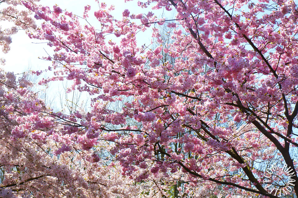 cherryblossoms10