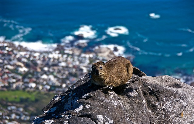 Rock Hyrax aka Dassie at the top