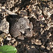 Anaxyrus americanus : American Toad by dmills727