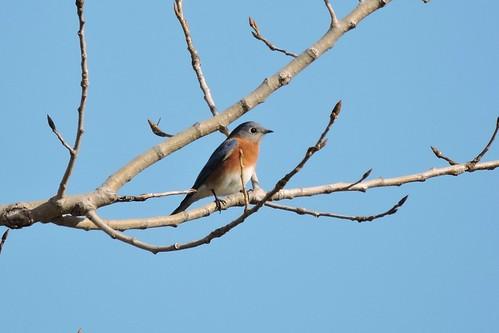 Eastern Bluebird #92