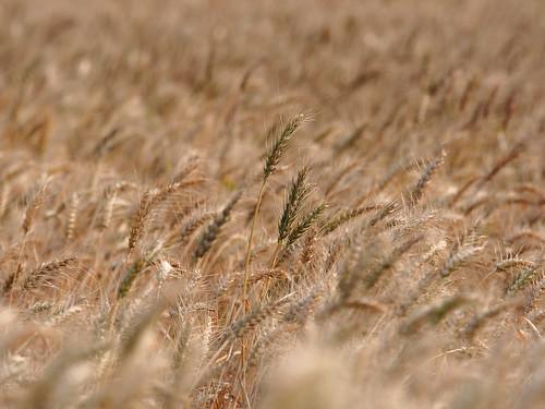 gold wheat taiwan olympus omd wheatland kinmen 金門 m43 em5 麥田 金黃 麥 thebeautyoftaiwan 40150mmf28