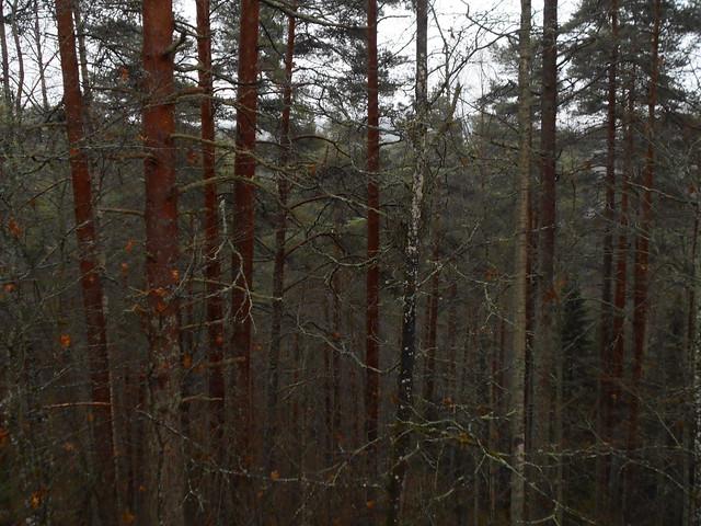 Sumun ja tihkusadepisaroiden tummentamia metsämantyjen (Pinus sylvestris) runkolatvoja, 8.11.2015 Hämeenlinna Ahveniston hautausmaa