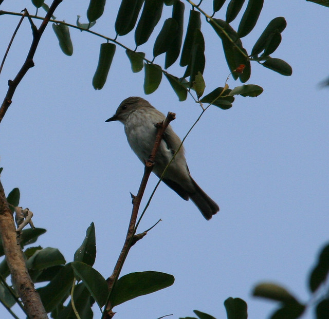 Spotted Flycatcher in Istanbul