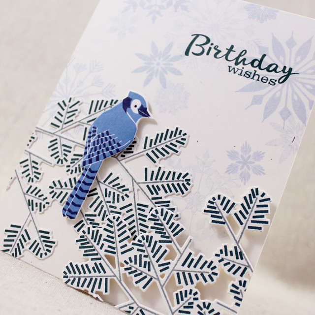 Birthday Bluejay Close Up