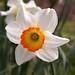 Narcissus cultivar