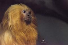 Singe tamarin lion doré / Golden lion tamarin