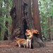 Day Four: California Redwoods by SLFshine